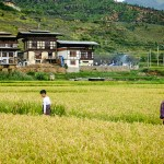 Farm in the Rice Fields