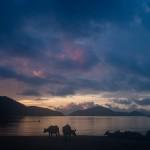 Buffaloes at Dawn